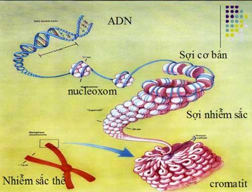 cấu trúc siêu hiển vi của nhiễm sắc thể