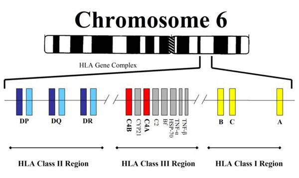 Gen MHC ở người định vị tại nhiễm sắc thể số 6