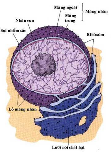 cấu tạo của nhân tế bào