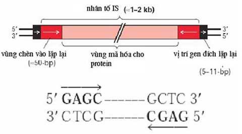 cấu trúc nhân tố IS