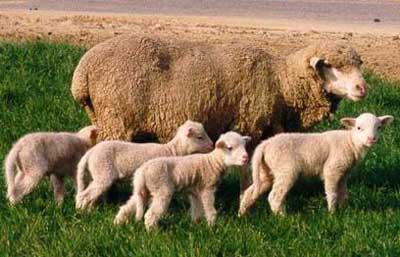 di truyền tính trạng chất lượng ở cừu