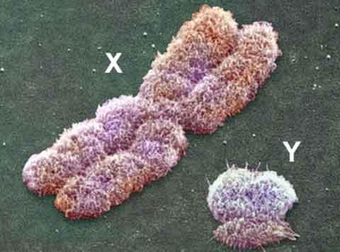 kích thước nhiễm sắc thể X và Y