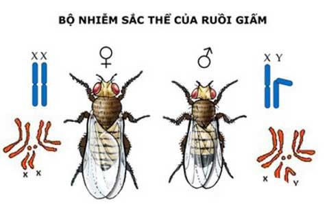 nhiễm sắc thể giới tính của ruồi giấm