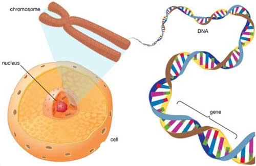 nhiễm sắc thể và gen