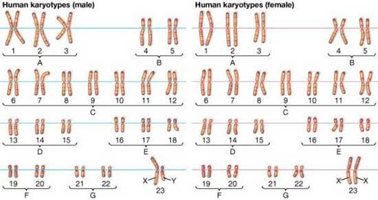 số lượng nhiễm sắc thể ở người